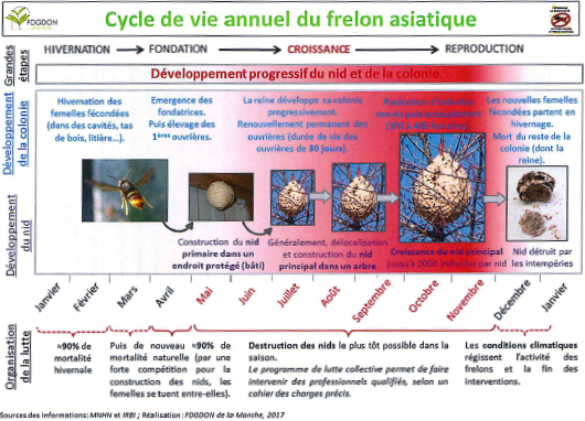 cycle de vie frelon.png